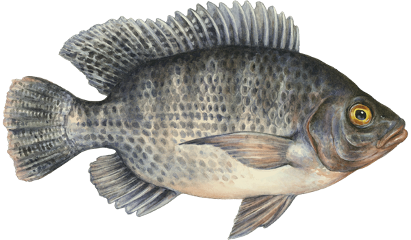 This is why you should stop eating tilapia immediately for Is tilapia a fake fish