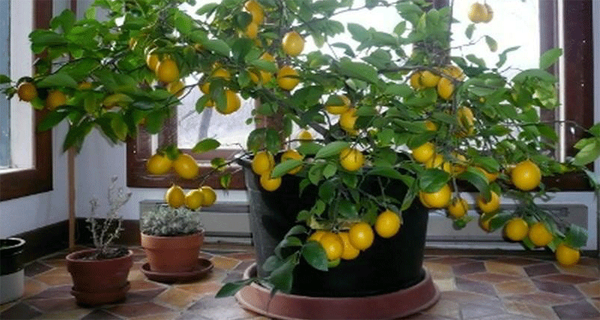How To Grow A Lemon Tree From Seed Easily In Your Home