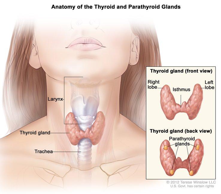 thyroid-zoom
