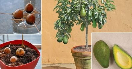 Stop Buying Avocados. You Can Grow an Avocado Tree in a Small Pot at Home! Here's How